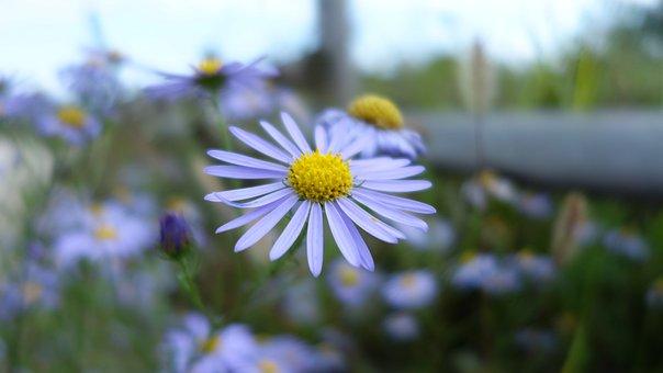 Michaelmas Daisy, Asteraceae, Wildflower, Purple