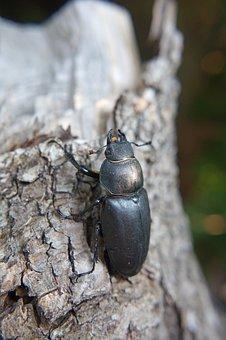 Beetle, Stag Beetle, Great Stag Beetle, Lucanus Cervus