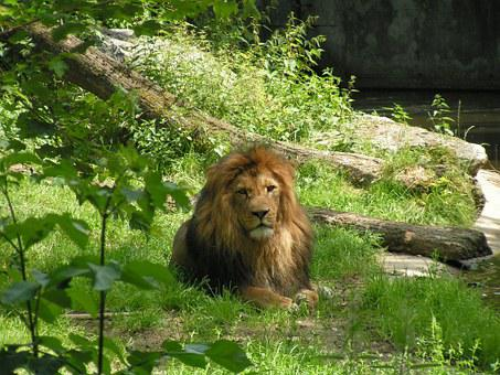 Lion, King Of The Beasts, Big Cat