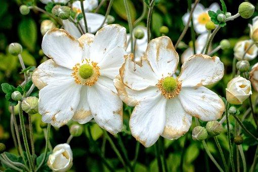 Fall Anemone, Anemone Hupehensis, Anemone, Blossom