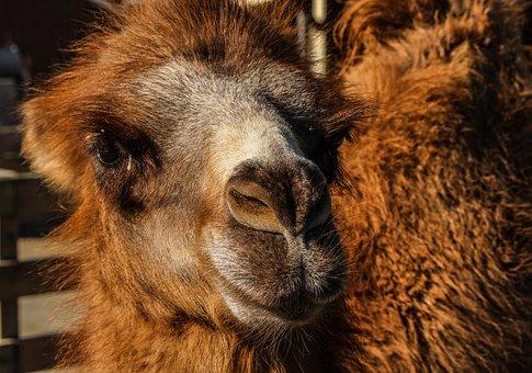 Bactrian Camel, Camel, Camelus Bactrianus, Central Asia