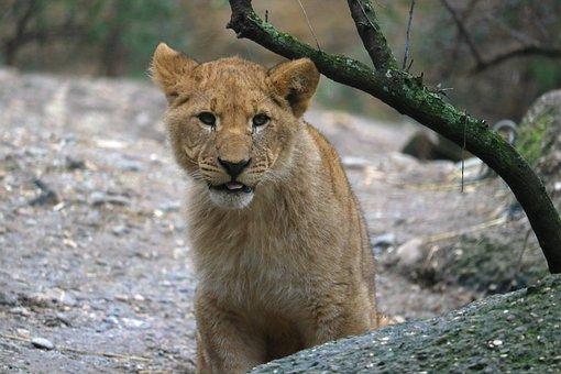 Lion, Young Animal, Young, Zoo, Big Cat, Predator, Cat
