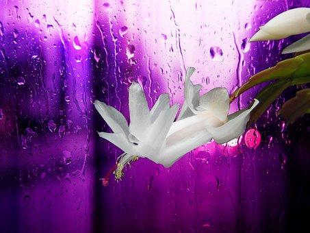 Christmas Cactus, White, Blossom, Nature, Plant, Pink