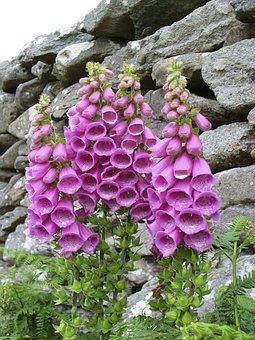 Thimble, Digitalis Purpurea, Flower, Pink, Digitalis
