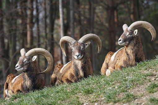 Mouflon, Aries, Horned, Male, European Mouflon