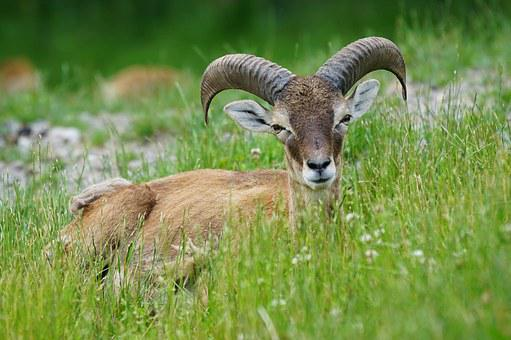 Mouflon, Horned, Ruminant, Male, European Mouflon