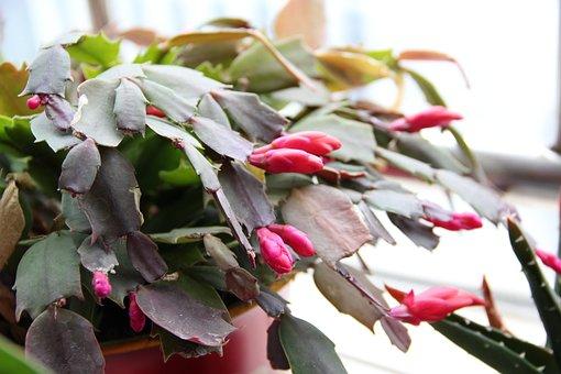 Fairy, Christmas Cactus, Plant, Potted Plants