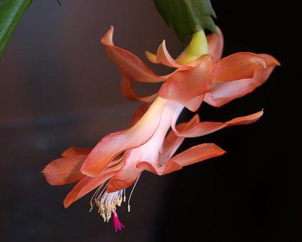 Christmas Cactus, Cacti, Succulent, Flora, Flower