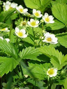 Strawberries, Blooms, Flowers, Garden, Flower, Nature