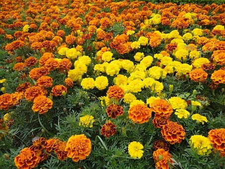 Cempazúchitl, Flowers, Flower, Yellow, Orange