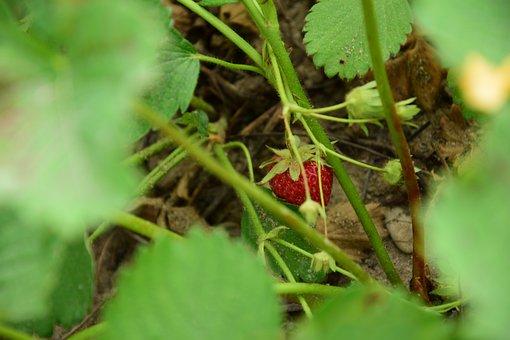 Strawberry, Fruit, Green, Garden, Red, Food, Sweet
