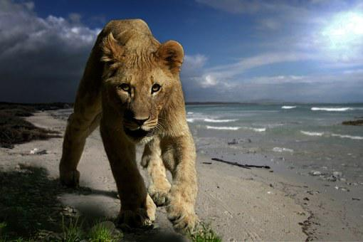 Lion, Young Animal, Predator, Cat, King Of The Beasts