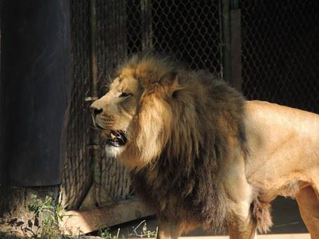 King Of The Beasts, Lion, Male Lion, Lion's Mane, Zoo