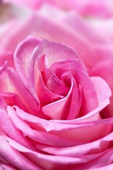 Rose, Macro, Flower, Composites, Nature, Plant, White