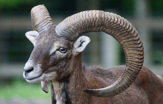 Mouflon, European, European Mouflon, Mammal, Male