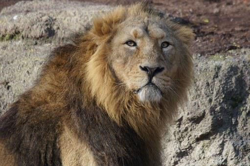 Lion, Male, King Of The Beasts