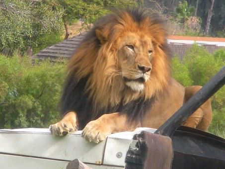 Lion, Zoo, Zoo Animals, Africa, Leo, Male, Wildlife