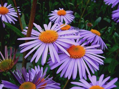 Aster Tongolensis, Michelmas Daisy, Mauve Flower