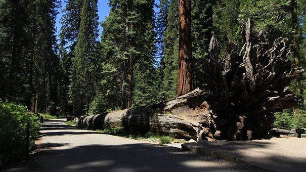 Redwood, Yosemite, California, Park, National, Sequoia
