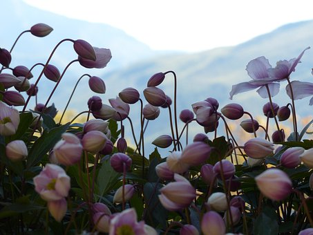 Bud, Pink, Flower, Fall Anemone, Anemone Hupehensis