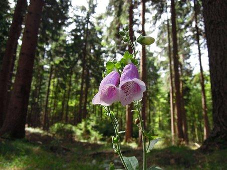 Forest, Plant, Thimble, Pink, Digitalis Purpurea