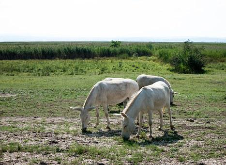Donkey, White, Steppe, Beast Of Burden, Puszta