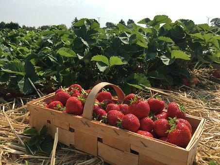 Strawberries, Straw, Berries, Strawberry Plant