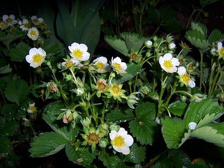 Strawberry, Flowers, Wood Strawberry, Garden, Plant
