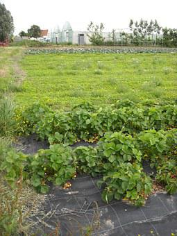 Agriculture, Vegetable Garden, Growing, Vegetables