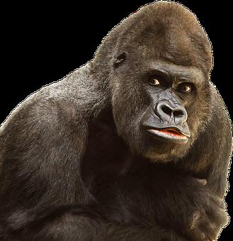 Isolated, White, Gorilla, Monkey, Ape, Primate