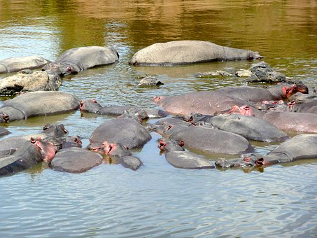 Hippo, Hippopotamus, Mara, River, Animal, Nature