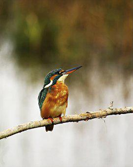 Kingfisher, Female, Birds