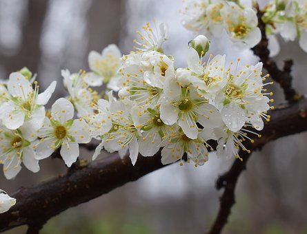 Cherry Blossoms In The Rain, Rain, Raindrops, Blossom