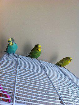 Parakeets, Cute, Male, Female, Green, Yellow, Budgie