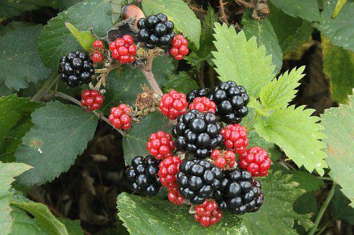 Black Berries, Red Blackberries, Autumn, Leaf, Dessert