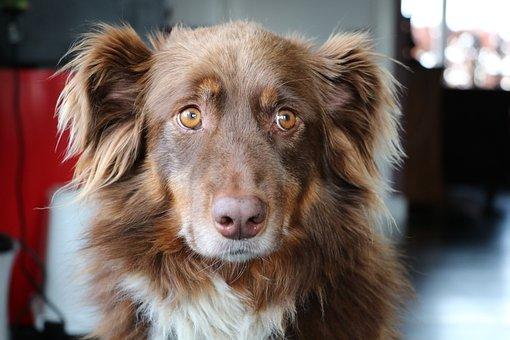 Dog, Australian Shepherd, Naughty
