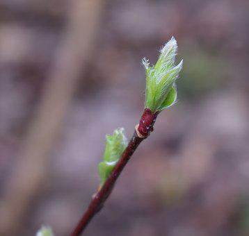 New Willow Leaves, Willow, Fuzzy, Green, Leaves