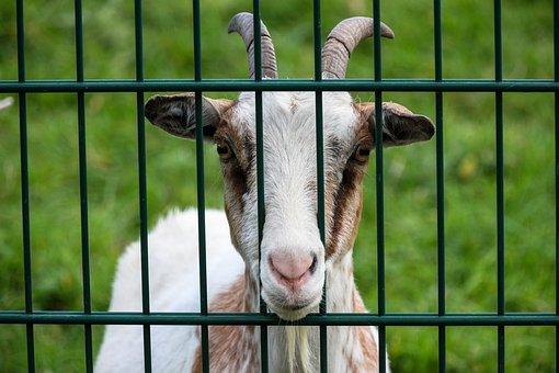 Goat, Fence, Enclosure, Hof, Snout, Grass, Green