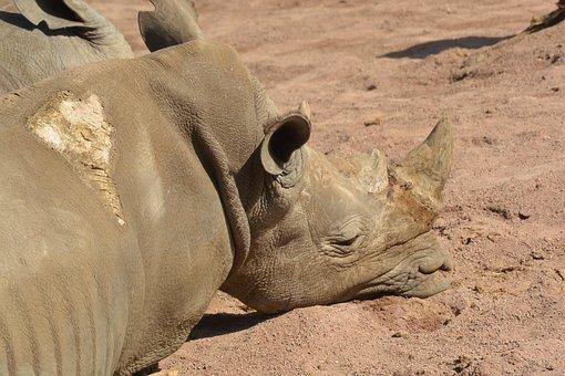 Pairi Daiza, Rhinoceros, Animals, Horn, Horns, Africa