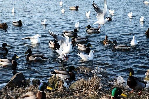 Waterfowl, Feed, Water, Eat, Feeding, Lake, Winter