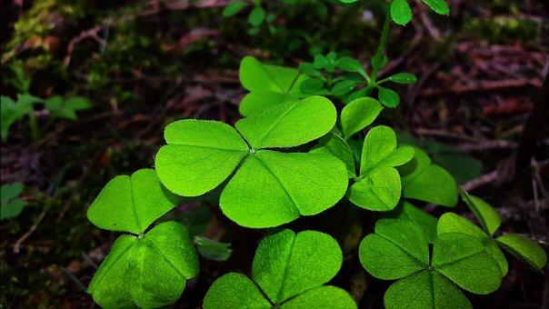 Klee, Luck, Lucky Charm, Four Leaf Clover, Green