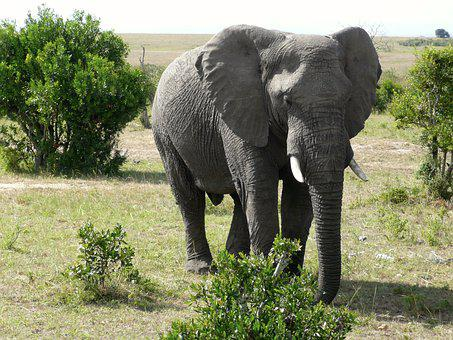Elephant, Masai, Mara, Kenya, Animal, Big, Mammal
