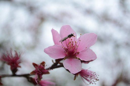 Peach Blossom, Insect, Spring, Red