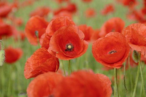 Nature, Poppy, Flowers, Poppy Flower, Red, Red Poppy