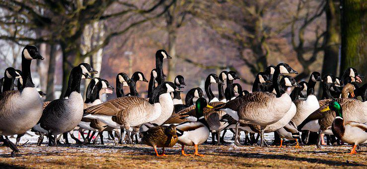 Animal, Goose, Ducks, Meeting, Poultry, Gander