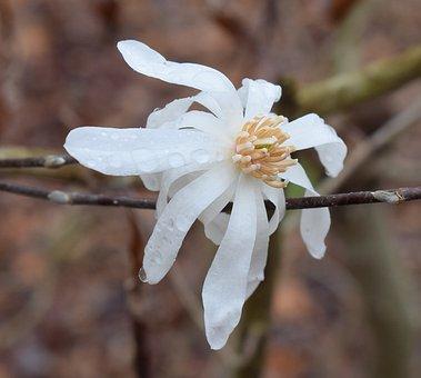 Star Magnolia Fin The Rain, Rain, Raindrops, Magnolia
