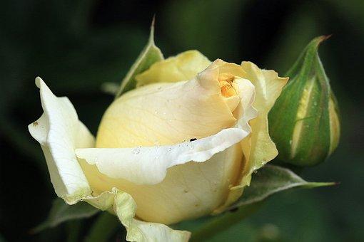 Rose, Yellow Rose, Rosebud, Rose Tea, Rose Petals