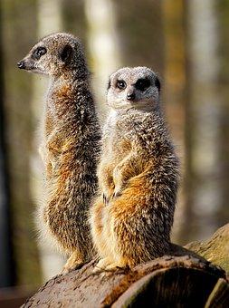 Meerkat, Wild, Zoo, Animal, Mammal, Standing, Wildlife