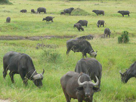 Buffalo, Masai, Mara, Kenya, Africa, Wildlife, Wild