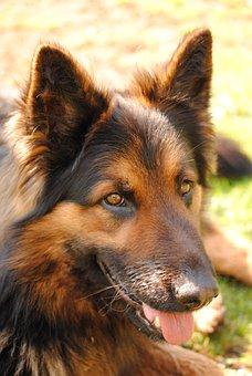 Dog, Big Dog, Chodsky Dog, Home Dog, Head, Animal